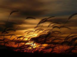 wind wheat